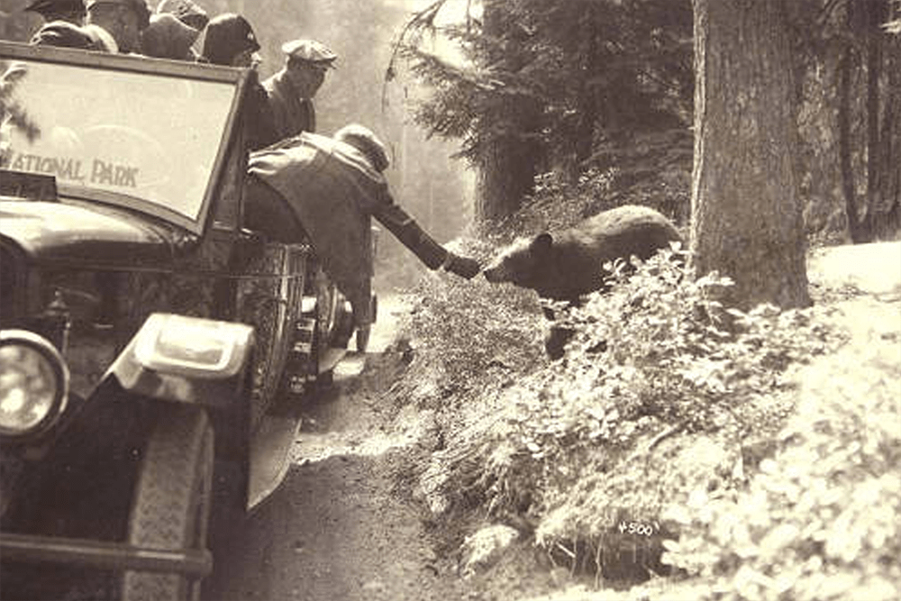 Visitors being transported in auto stages, or tour buses, feeding a bear alongside a road, Mount Rainier National Park, Washington ca. 1925.